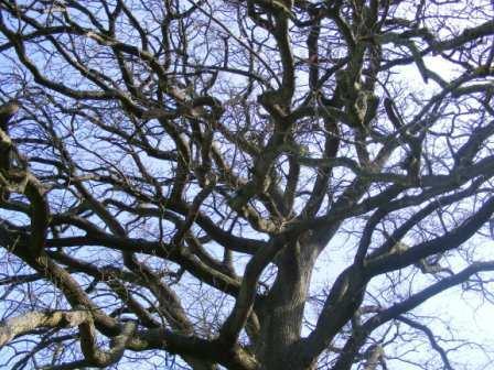 Oak_branches